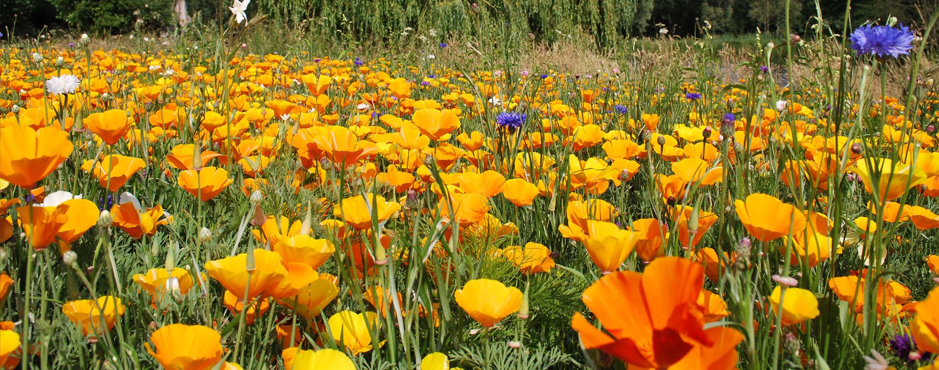 Holbury Lakes Wild Flowers